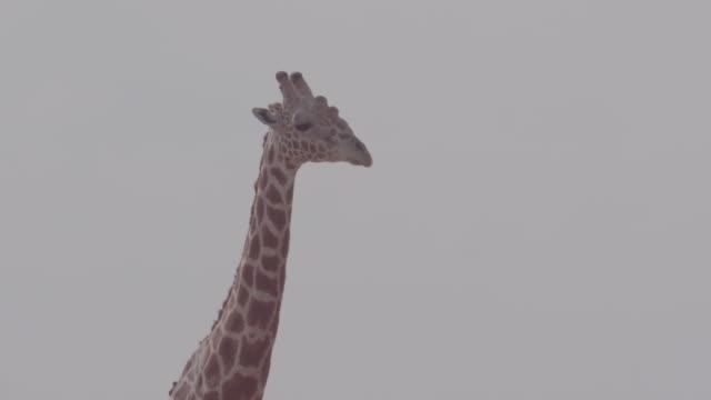 giraffe / africa - 草食性点の映像素材/bロール