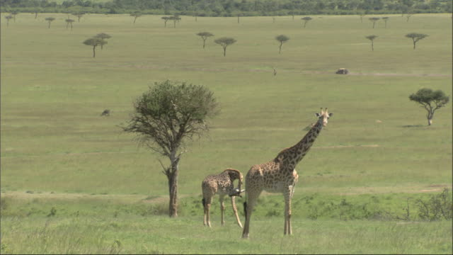 Giraffe (Giraffa camelopardalis) and young, 4wd drives past in background, Kenya, Africa