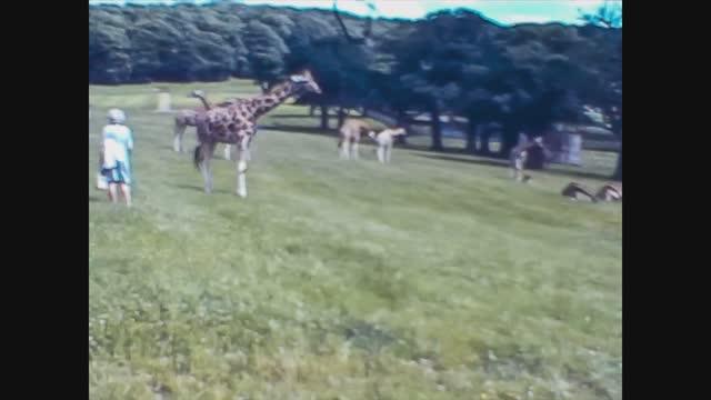 giraffe at the animal park - herbivorous stock videos & royalty-free footage