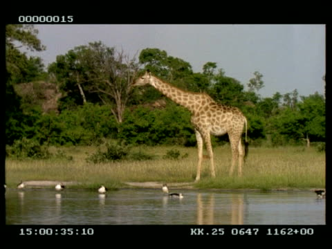 vídeos de stock e filmes b-roll de giraffe at water's edge, looking alert, lowers head to drink and looks to camera - baixar