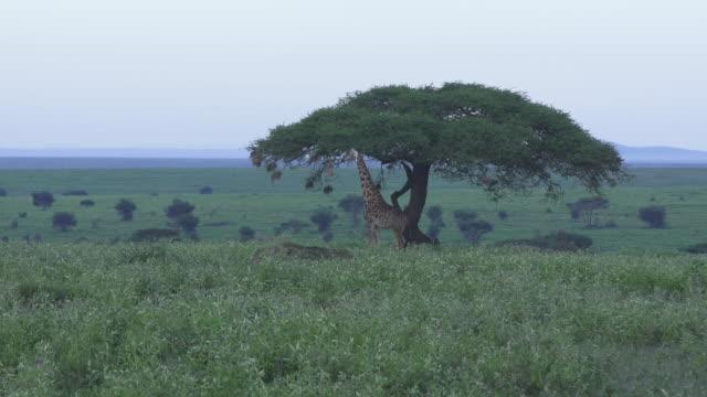 giraffe by acacia tree - acacia tree stock videos & royalty-free footage