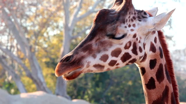 giraffe chewing a leaf - herbivorous stock videos and b-roll footage