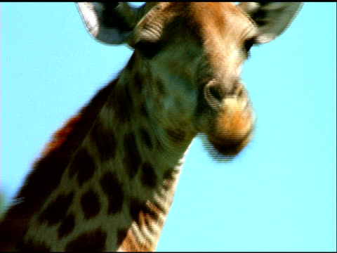 giraffe chewing leaves from tree, south africa - hungry stock videos & royalty-free footage
