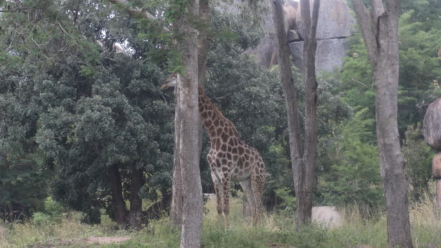 giraffe chewing over among trees. - hooved animal stock videos & royalty-free footage