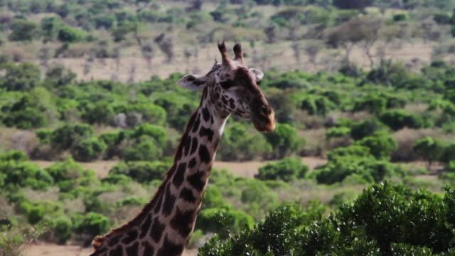 giraffe close up - herbivorous stock videos & royalty-free footage