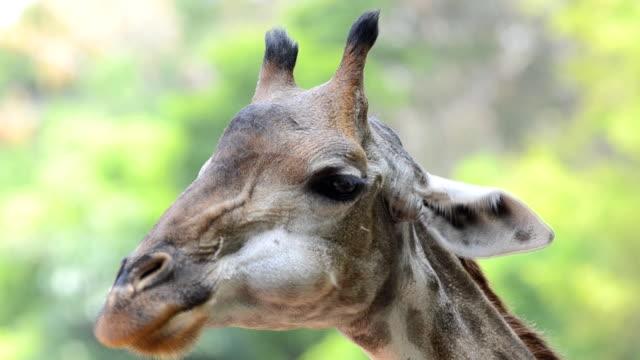 stockvideo's en b-roll-footage met giraffe close-up - vachtpatroon