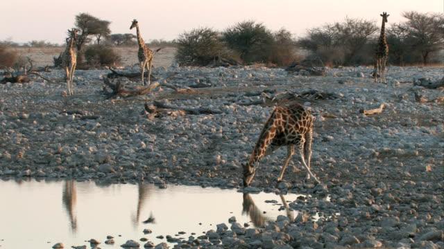 giraffe trinken - wasserloch stock-videos und b-roll-filmmaterial