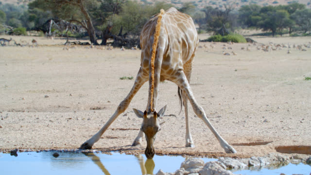 ms tu td giraffe (giraffa camelopardalis) drinking water / kgalagadi transfrontier park, kgalagadi district, south africa - giraffe stock videos and b-roll footage