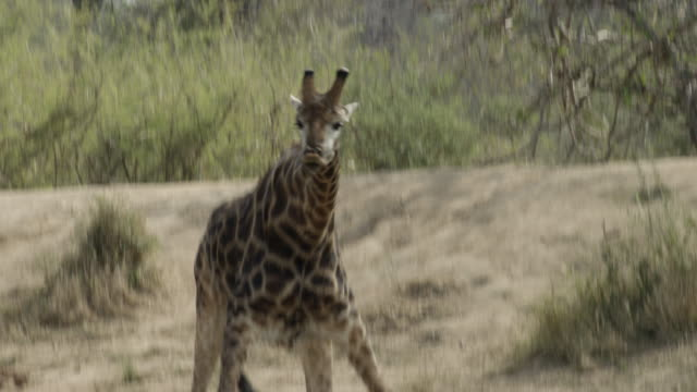 giraffe drinks then lifts head quickly from pool. - giraffe stock videos & royalty-free footage