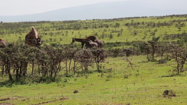 giraffe eating 2 - wiese stock videos & royalty-free footage
