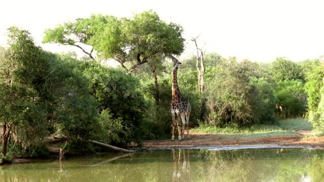 giraffe essen blätter im krüger-wildschutzgebiet - füttern stock-videos und b-roll-filmmaterial