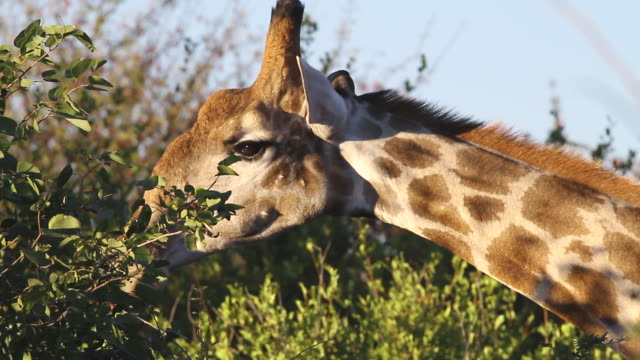cu giraffe eating from top of tree / ongava, kunene, namibia - wiese stock videos & royalty-free footage