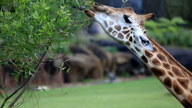 giraffe eating leaves from a tree - giraffe stock videos and b-roll footage