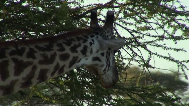 cu td giraffe eating leaves, serengeti, tanzania - herbivorous stock videos & royalty-free footage