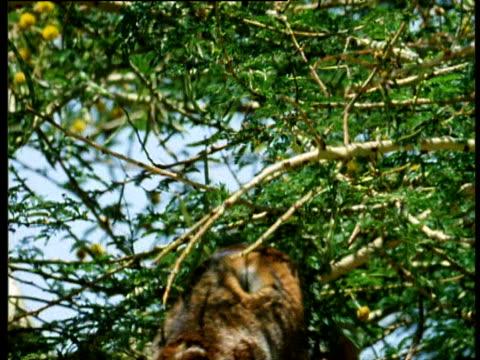 stockvideo's en b-roll-footage met giraffe eating prickly acacia tree. - 1991