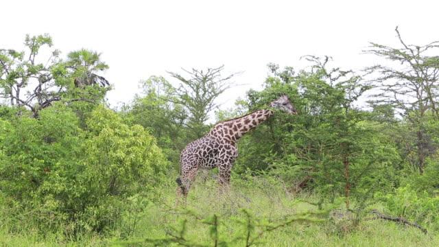 giraffe eating - wiese stock videos & royalty-free footage