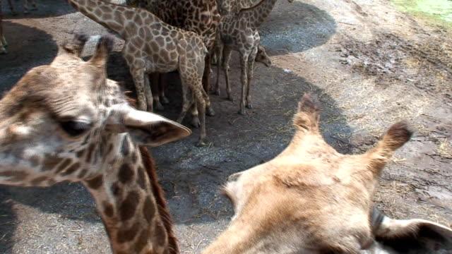giraffe farm - medium group of animals stock videos & royalty-free footage