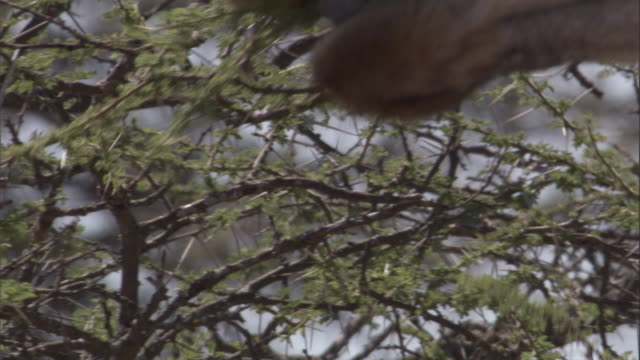 A giraffe feeds on acacia leaves. Available in HD.