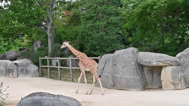 vídeos de stock e filmes b-roll de giraffe fence with one specimen paris zoological park 20 june 2020 - porta amostra
