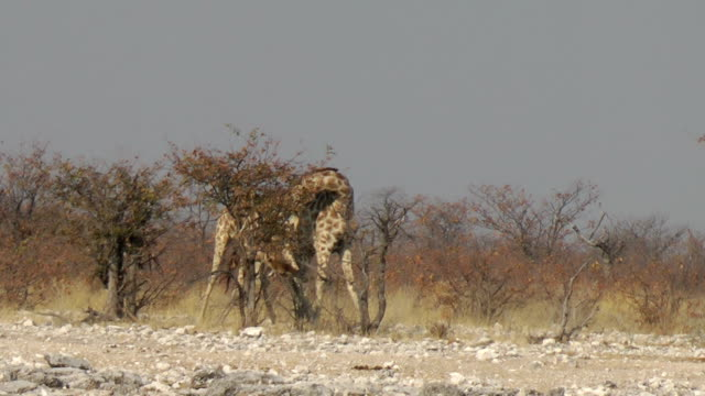 stockvideo's en b-roll-footage met giraffe fighting - namibië