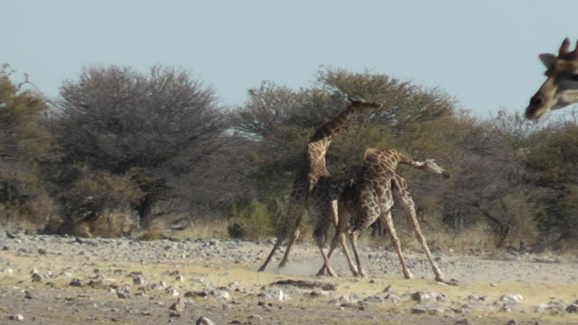 giraffe fighting - fight stock videos and b-roll footage