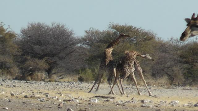 vídeos de stock, filmes e b-roll de girafa de luta - girafa