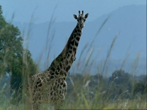 ms giraffe, giraffa camelopardalis, side view, looking to camera, tanzania - animal markings stock videos & royalty-free footage