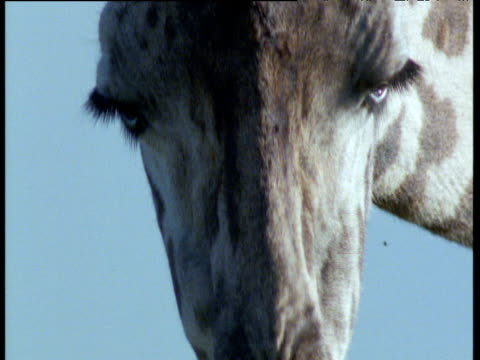 giraffe grazes on thorny acacia tree - acacia tree stock videos & royalty-free footage