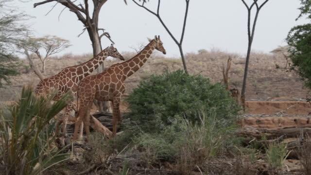 Giraffe grazing in the wild