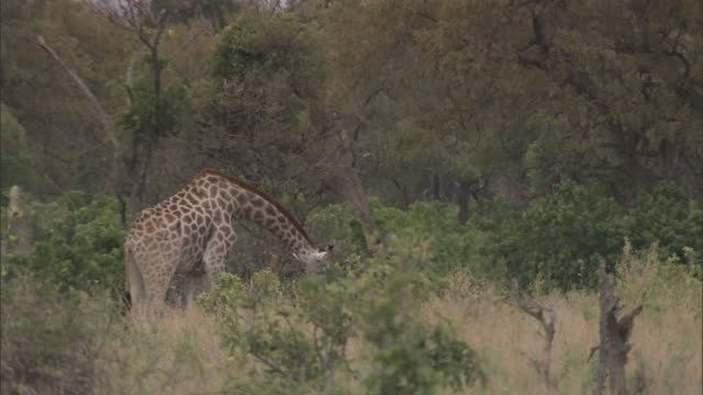 WS Giraffe grazing neck bent down near ground on the Okavango Delta trees all around Wildlife neck tall tallest mammal ruminant feeding habit browsing