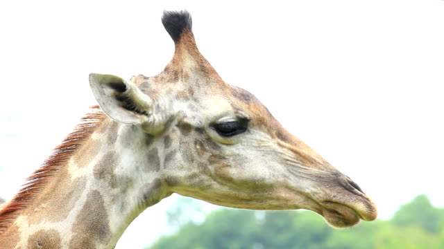 giraffe head shot - animal neck stock videos & royalty-free footage