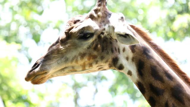 Giraffe head,Close-up