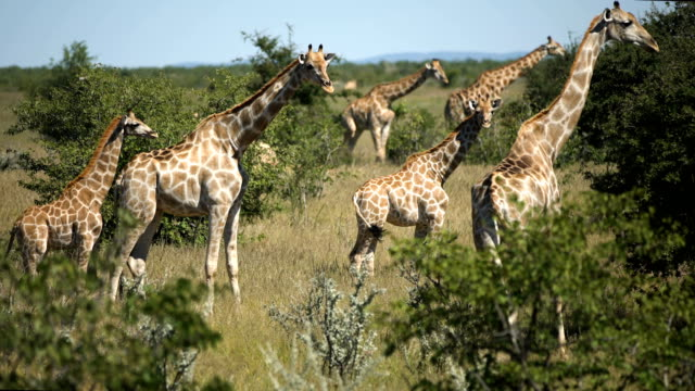 giraffe herd in the wild - herbivorous stock videos & royalty-free footage