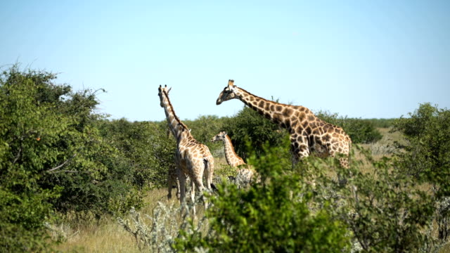 giraffe herd in the wild - wildlife reserve stock videos & royalty-free footage