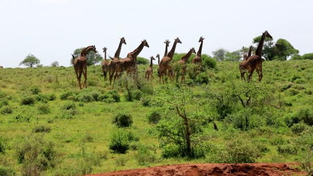 giraffe herd running - giraff bildbanksvideor och videomaterial från bakom kulisserna