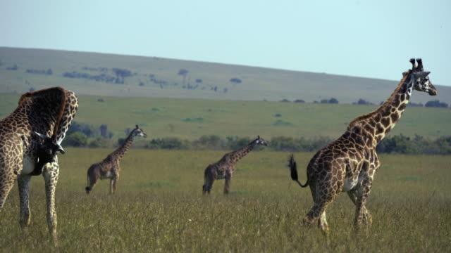 giraffe herd - two shots - 4k - shaking stock videos & royalty-free footage