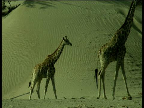 giraffe herd walk past sand dune, namibia - animal neck stock videos & royalty-free footage
