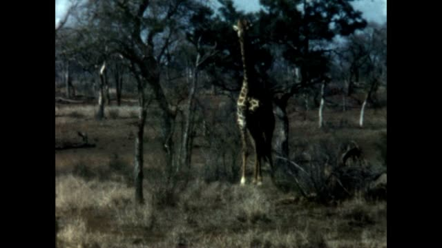 giraffe in kruger national park in the 1960's. - provinz mpumalanga stock-videos und b-roll-filmmaterial
