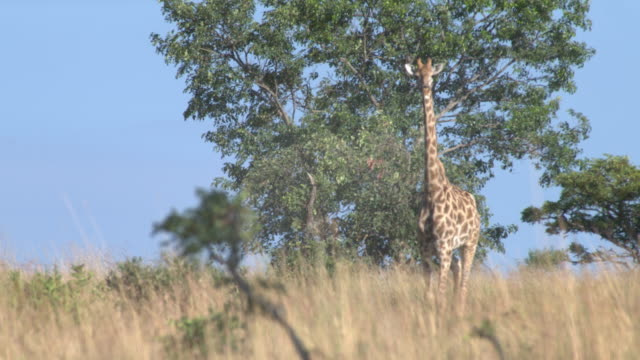 giraffe in south africa - herbivorous stock videos and b-roll footage