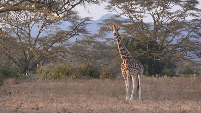 Giraffe in the late afternoon light