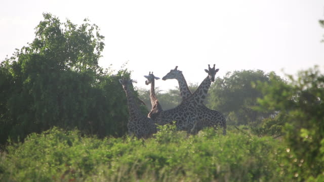 giraffe in treeline 2 - four animals stock videos & royalty-free footage