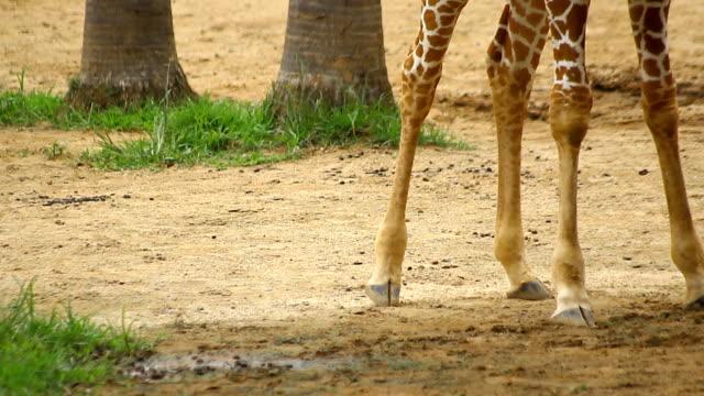 stockvideo's en b-roll-footage met droge giraffe been wandelen doorgeven - lengte