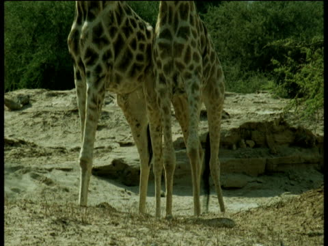 giraffe legs as they push each other, tilt up to heads, namibia - giraffe stock videos and b-roll footage