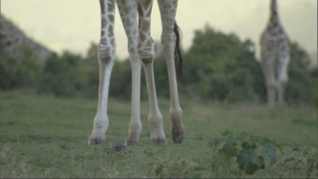 vídeos de stock, filmes e b-roll de giraffe (giraffa camelopardalis) legs walking, tilt up to head, kenya - membro parte do corpo