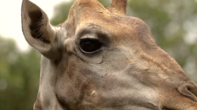 キリンのカメラ目線します。 - 動物の眼点の映像素材/bロール