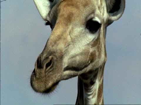 stockvideo's en b-roll-footage met cu giraffe (giraffa camelopardalis) looking then turning to eat from tree, botswana - gepunt