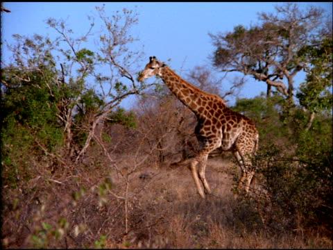 vídeos y material grabado en eventos de stock de giraffe lowers its body awkwardly to sit down in bush land, botswana - bush land