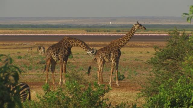 giraffe (giraffa camelopardalis) male courting female, lake manyara, tanzania - animal call stock videos & royalty-free footage