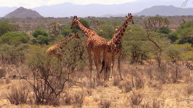 giraffe male threatens other male in dominance display, samburu, kenya - male animal stock videos & royalty-free footage