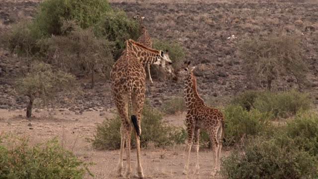 Giraffe mom touches noses with calf, Kenya